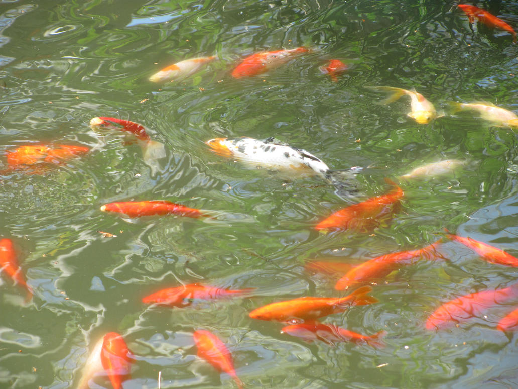 Koi and gold fish 10 by dragonladyslair on deviantart for Koi und goldfisch