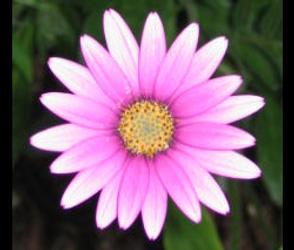Pretty Daisy by Lynda-Jane