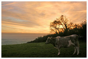Cow at sunset by grubbyboy