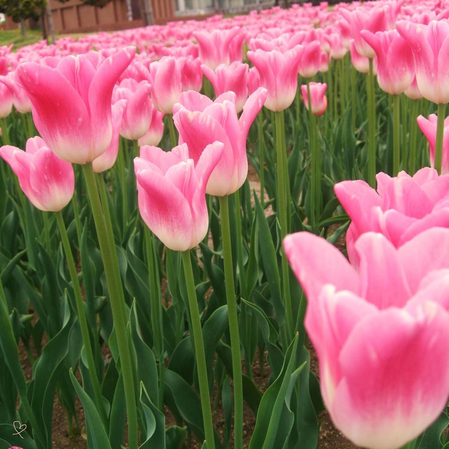 tulip by Tgyana
