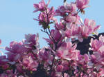 Some More Magnolia Flowers