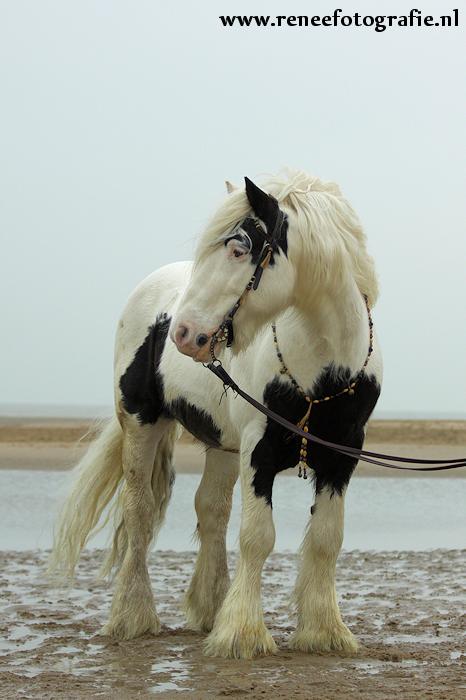 Chuck  Chakotay__Irish_Cob_stallion_1_by_lifaya
