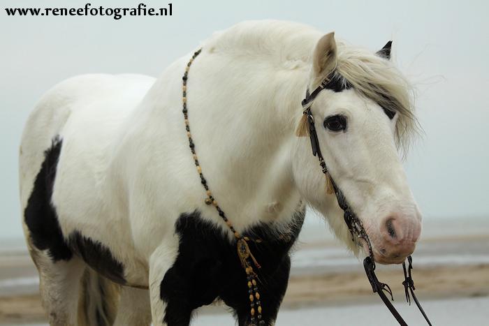 Chuck  Chakotay__Irish_Cob_stallion_4_by_lifaya