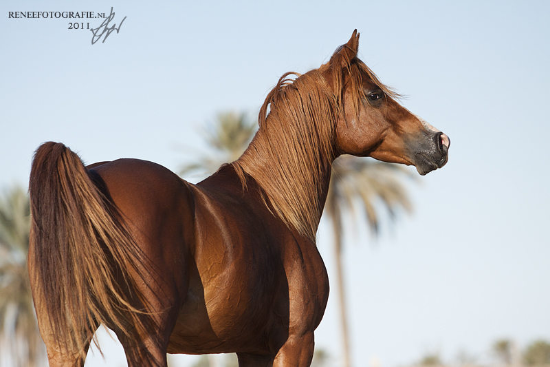 Arabian Stallion Zarrouk by lifaya