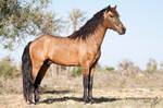 Barb stallion Mabrouk