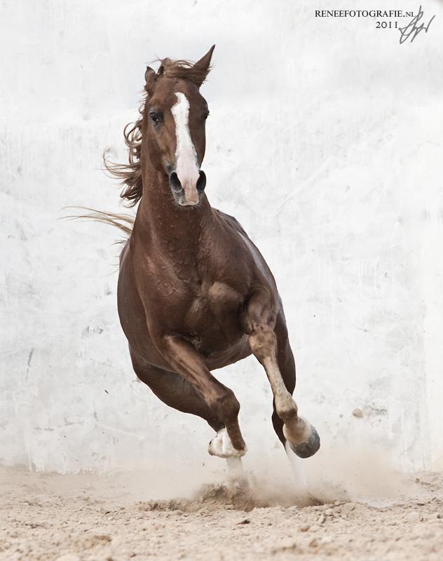 Zarrouk, Arabian stallion, Tunisia by lifaya