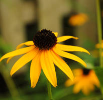 Black Eyed Susan by carolinexpaige