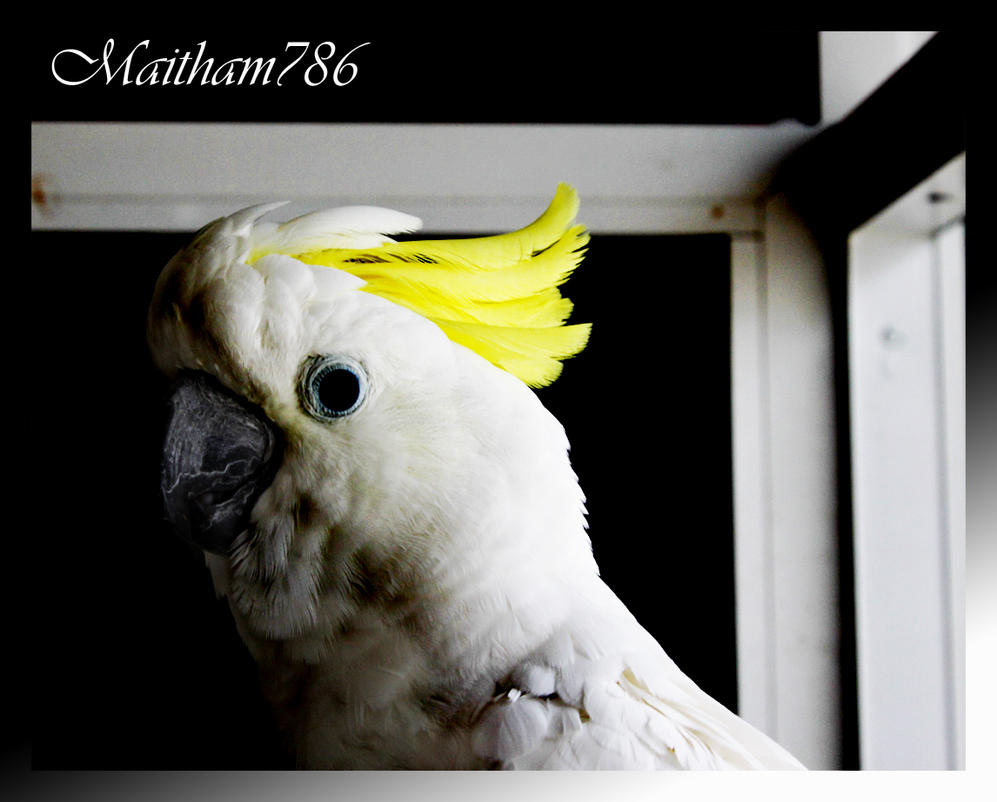 Classic_Cockatoo by maitham786