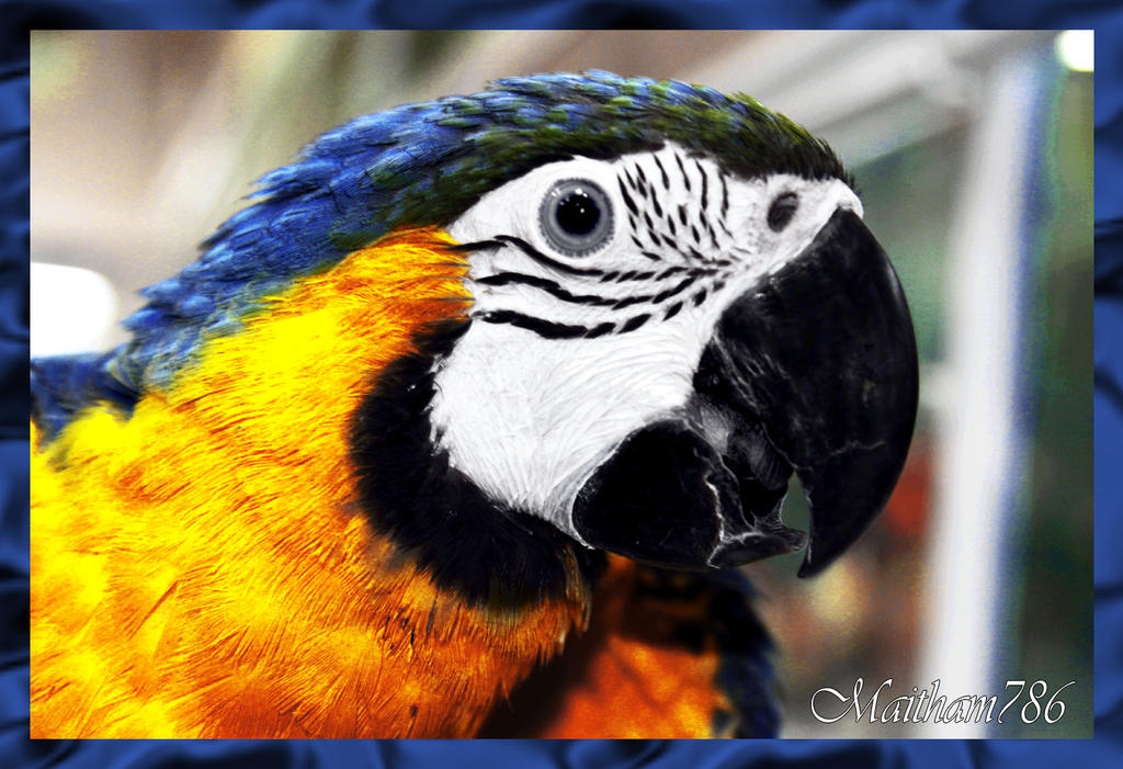 Blue_Gold_Macaw by maitham786