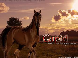 Cupid - Horsephenomena Arabian Stallion