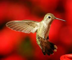 Hummingbird 9 by jerryfrencho