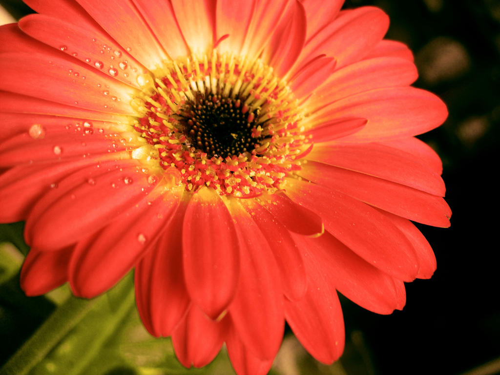 Gerbera the most beautiful of all flowers by jasuna on deviantart gerbera the most beautiful of all flowers by jasuna dhlflorist Image collections