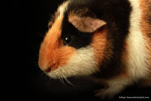 Shy little guinea pig