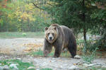 grizzly bear 0273