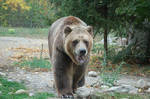 grizzly bear 0282