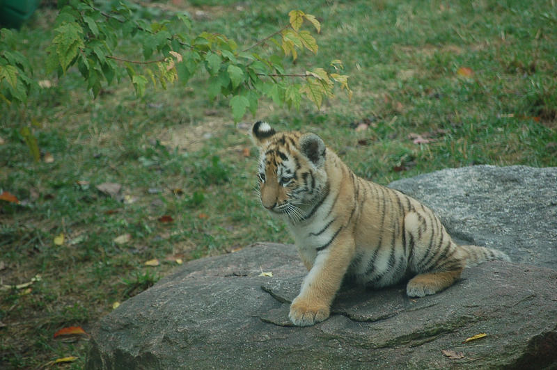 siberian tiger cub 0377 by stocklove