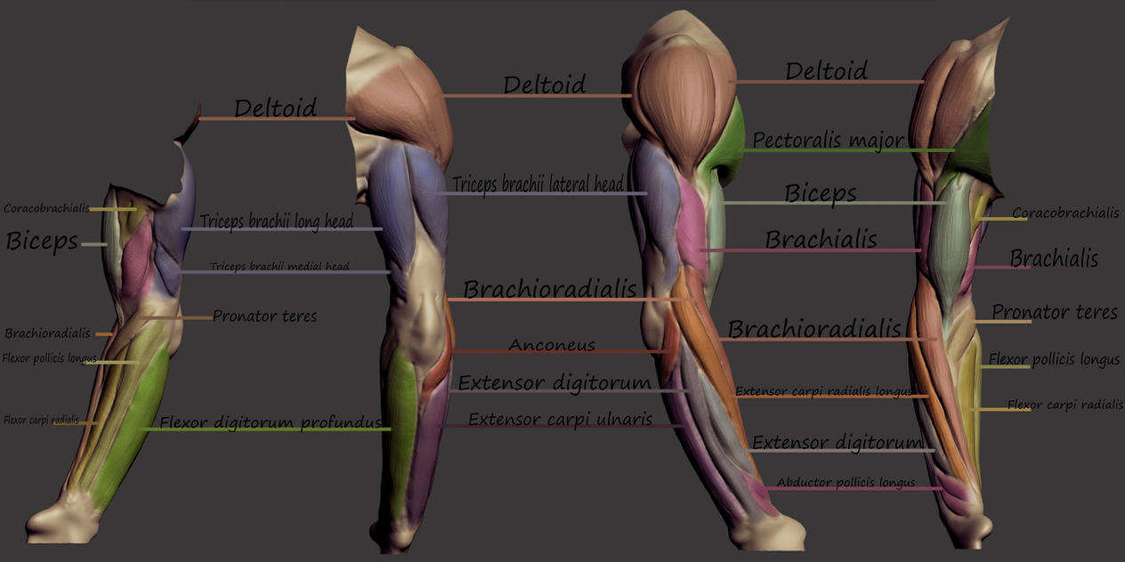 Upperarm And Forearm Muscles By Snowflakebloom On Deviantart