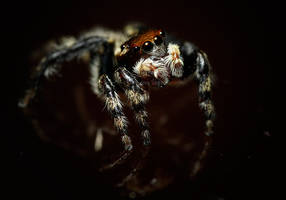 Jumping Spider 8 by bleu3t