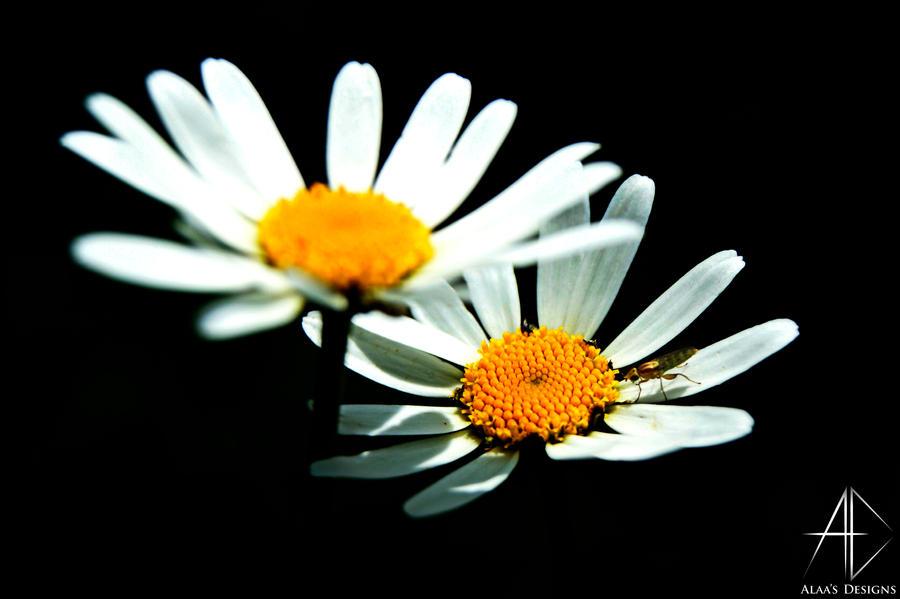 daisy by AlaasDesigns