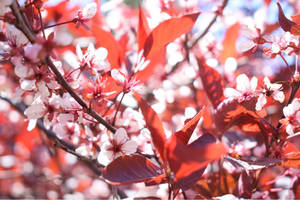 Purple Leaf Cherry 2 [Spring 2018 3 (4)] by LadyLilithKnight