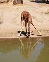 baby giraffe by choney25