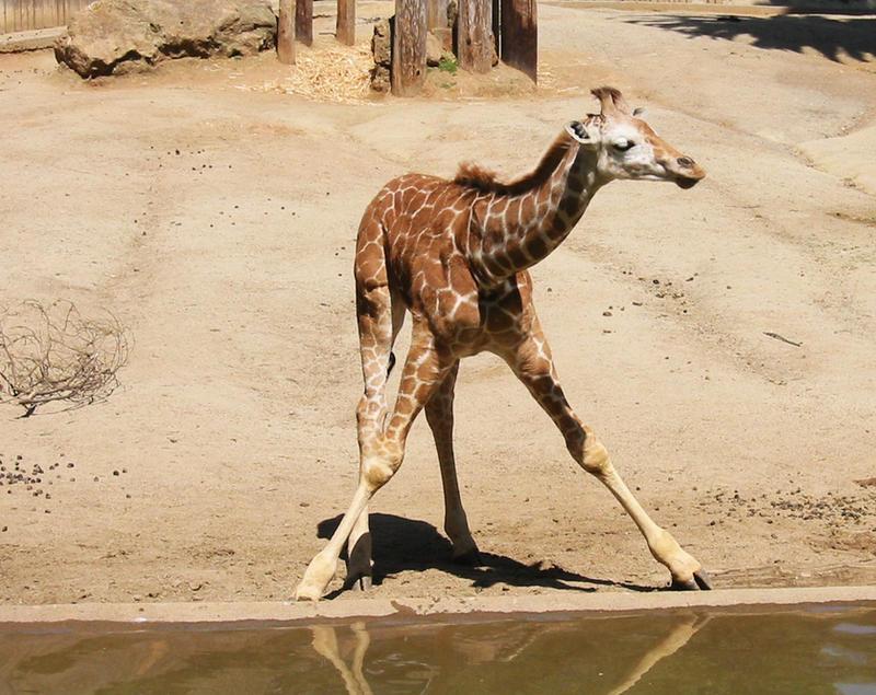 baby giraffe II