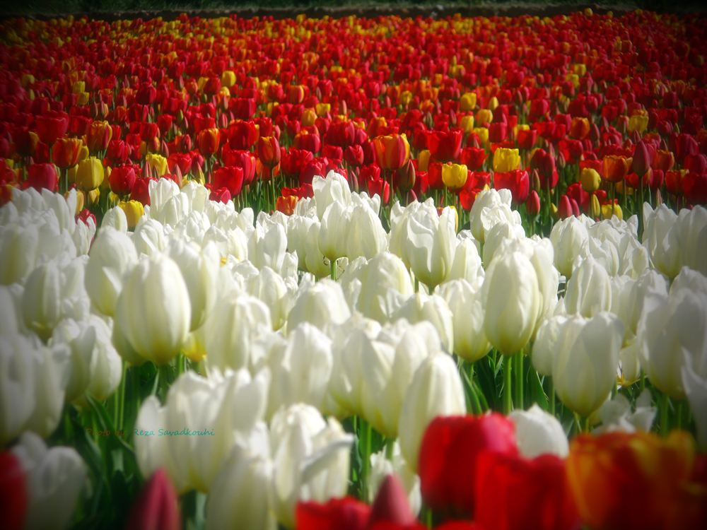 Tulips Garden 05 by rezabs on DeviantArt