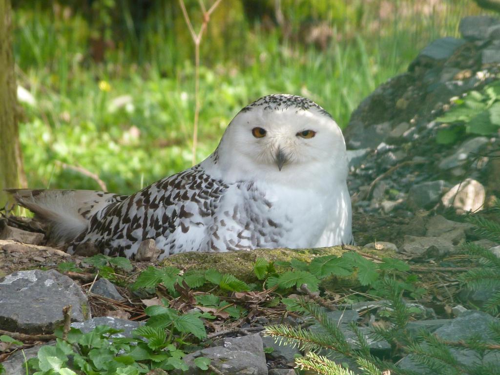 Great snowy owl by BlastShizu