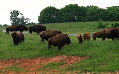 Herd of Bison by opodo