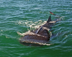 Whale Shark by opodo