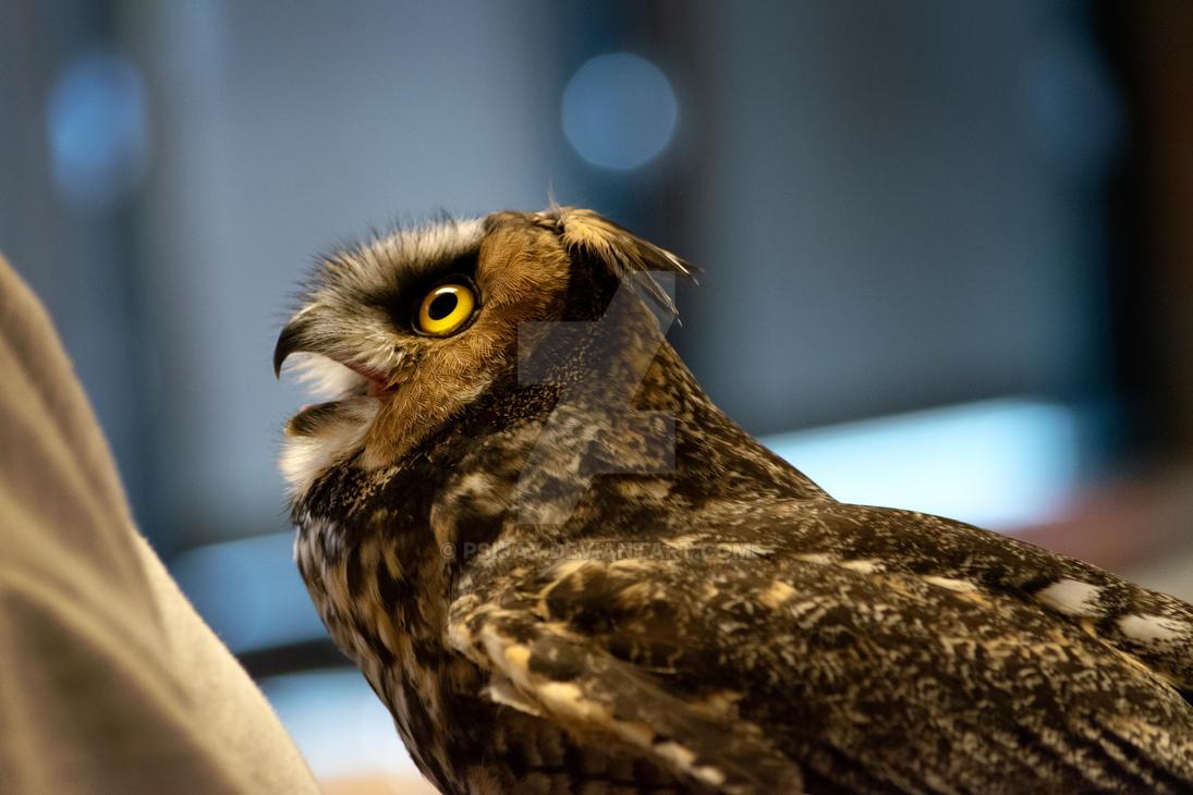 Long Eared Owl by Psijay