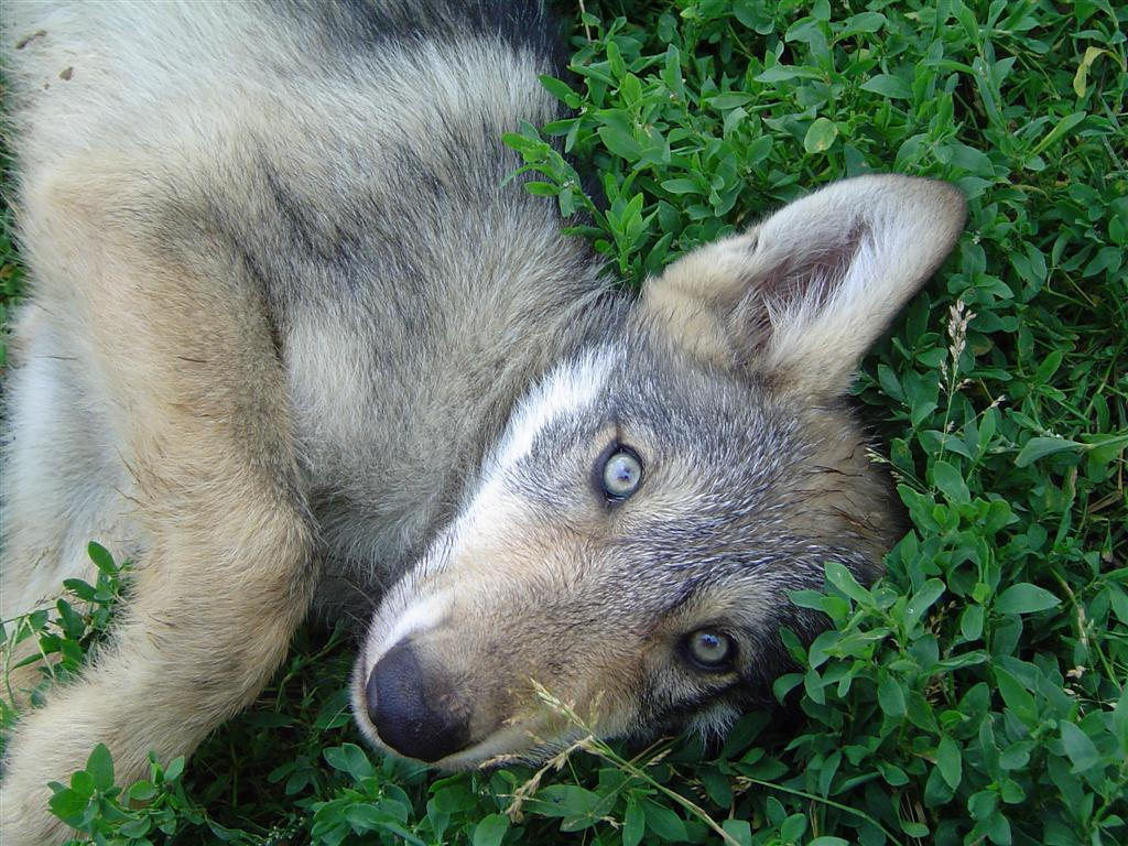 Wolf Dogs With Blue Eyes For Sale