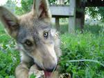 Wolf Puppy 2