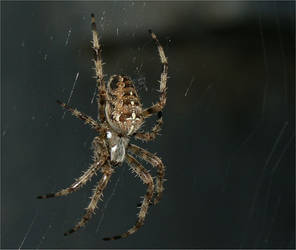 Spider waiting meal by philcopain