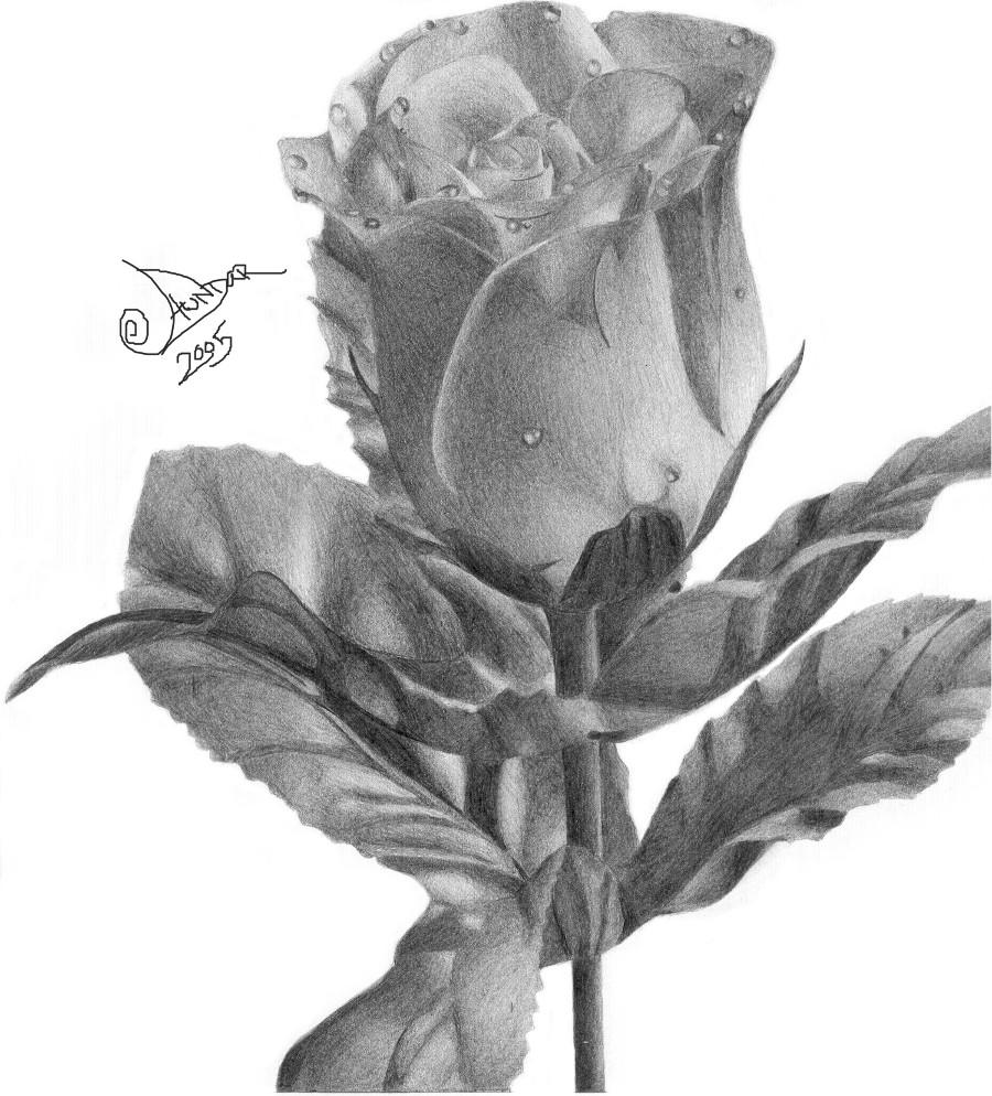 Dewey Rose by Aundar