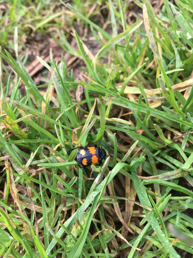 Black and orange beetle by Tish-Underwood