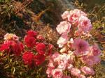 Pink rose Red rose