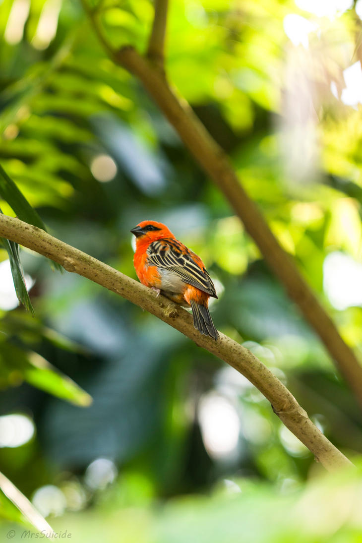 Madagaskarweber by MrsSuicide