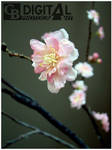 The Blossom by GillesBone