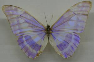 Stock : Purple Butterfly
