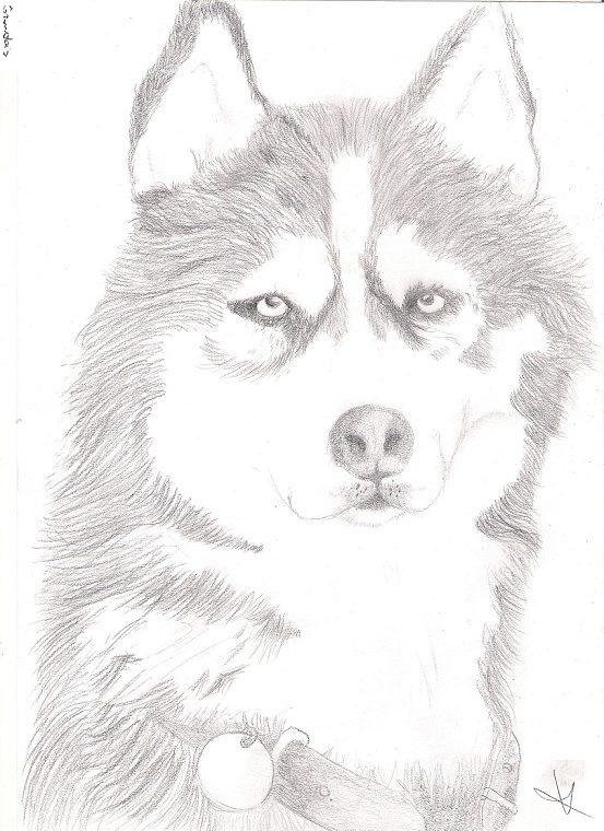 Husky by Bianka98