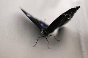 Batman's Butterfly by schaafflo