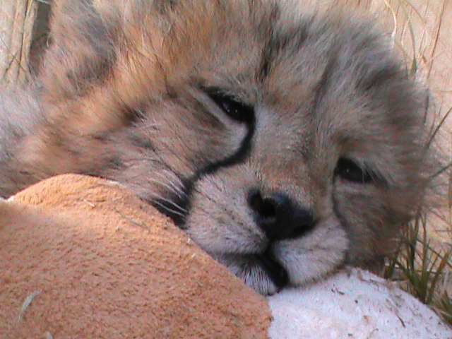 sleepy cheetah cub by Damorik