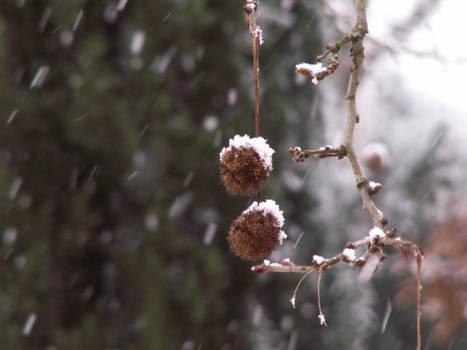 snowy balluca