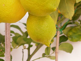 lemon by stesio54