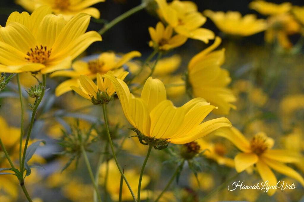 Yellow flowers by hannahvbannah on deviantart yellow flowers by hannahvbannah mightylinksfo