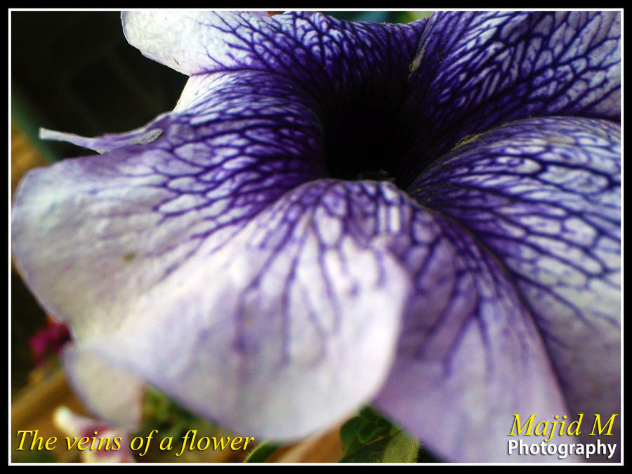 The veins of a purple flower