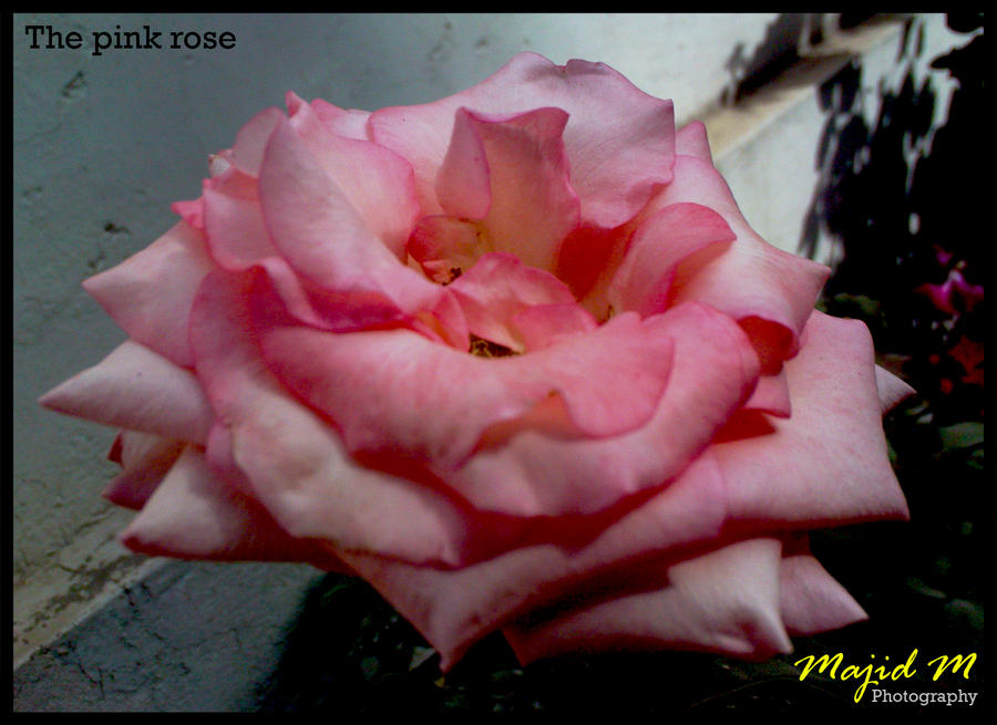 The pink rose- Floral photography