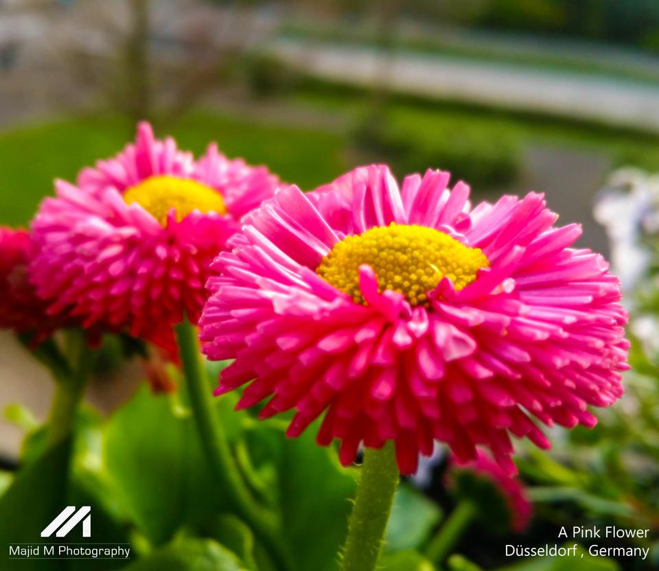 A pink flower by meanart