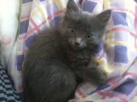 awh kitten by XBlissfulXNightX